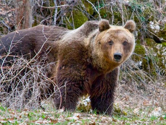 Esemplare di Orso Marsicano nel Parco Nazionale d'Abruzzo - Foto presa da http://www.parcoabruzzo.it/fotoNews/1-orso2008_1.jpg