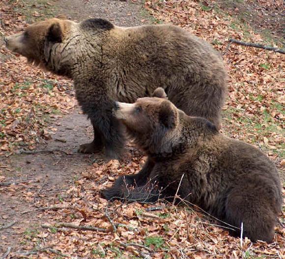 Esemplari di orso del Trentino - http://www.agraria.org/faunaselvatica/orso.htm