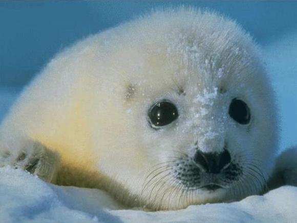 Esemplare di cucciolo di foca - http://www.arianuova.org/img/Foca.jpg