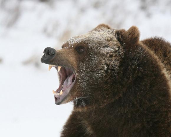 Esemplare di Orso nel Parco di Yellowstone - http://www.giornalettismo.com/archives/237226/gli-orsi-impazziti-di-yellowstone/