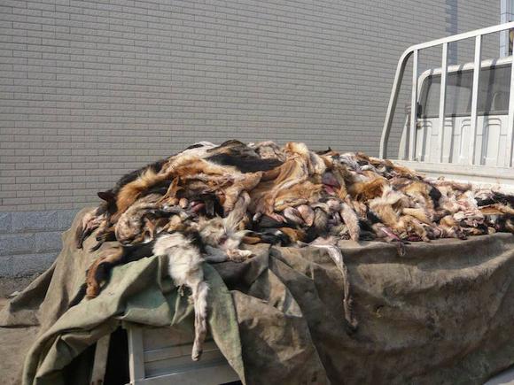 Cina vengono usati anche le pelli di cane per fare le pelliccie - foto da http://www.ilgiornale.it/sites/default/files/foto/2014/12/19/1418996228-peta6-0.jpg
