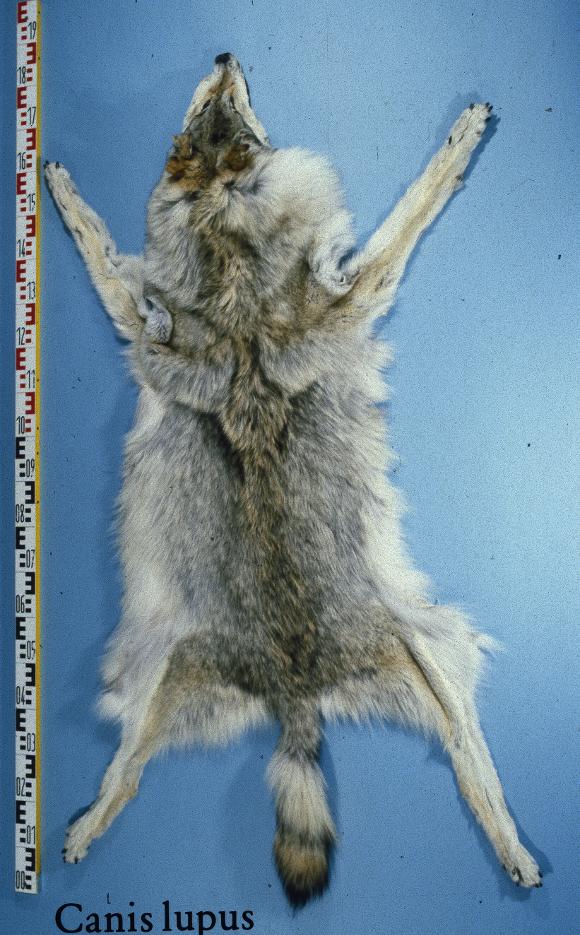 Pelliccia ottenuta dal lupo grigio siberiano - immagine da http://upload.wikimedia.org/wikipedia/commons/d/d8/Canis_lupus_siberia_fur_skin.jpg