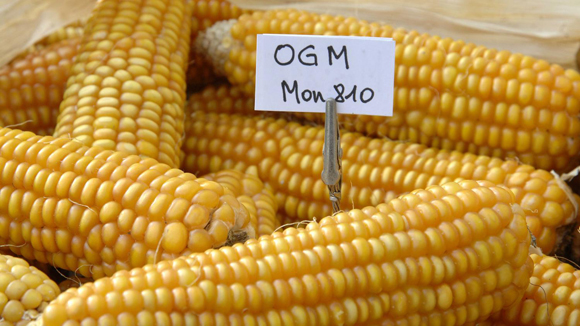 Pannocchie di mais OGM (MON 810) della Monsanto