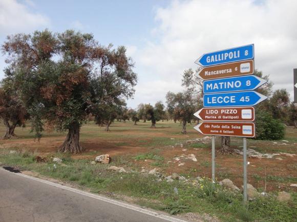 Ulivi contaminati dalla Xylella - Foto da http://www.leccezionale.it/wp-content/uploads/2013/11/XYLEFA_26.jpg