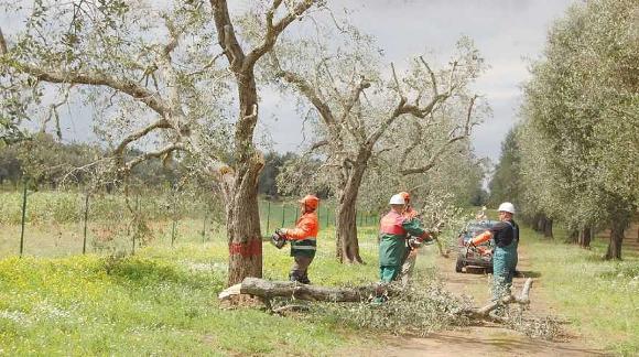 Taglio di ulivi malati - Immagine da http://img2.cedscdn.it/ArchivioNews/20150110_ulivi_malati.jpg