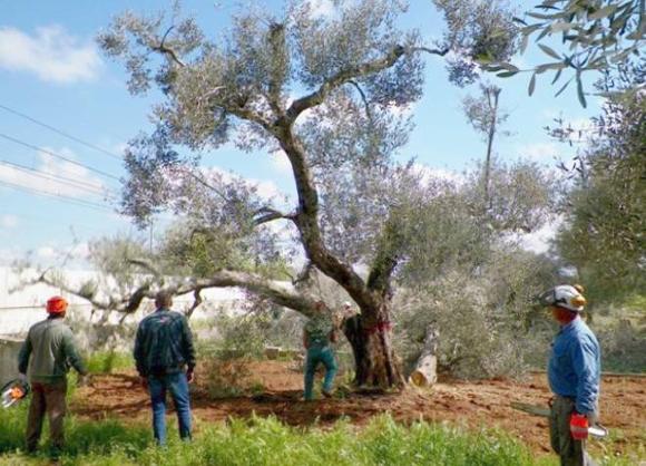 Taglio ulivi malati - Immagine da http://www.quotidianodipuglia.it/FotoGallery_IMG/HIGH/20140728_75356_xylella.jpg