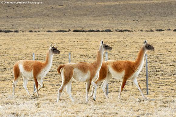 Guanacos (Lama Guanicoe), Ruta 40, area dell'Hotel La Leona (Santa Cruz, Patagonia Argentina)