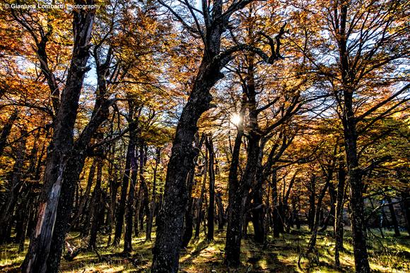 Foresta di Nothofagus dombeyi (Coihue o Coigue, da Koywe in lingua Mapuche) sul sentiero per Laguna Torre, Parque Nacional Los Glaciares (El Chaltén, Santa Cruz, Patagonia Argentina).