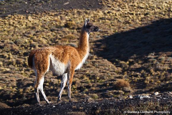 Guanaco (Lama Guanicoe), Parque Nacional Torres del Paine (Region de Magallanes y de la Antartica Chilena, Patagonia, Cile)