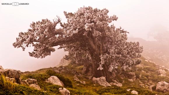 Pino Loricato immerso nella nebbia a Serra di Crispo - Foto di Marcello Lombardi