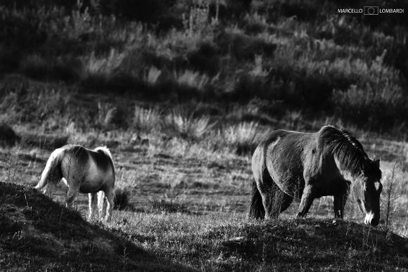 Cavalli al pascolo - Foto di Marcello Lombardi
