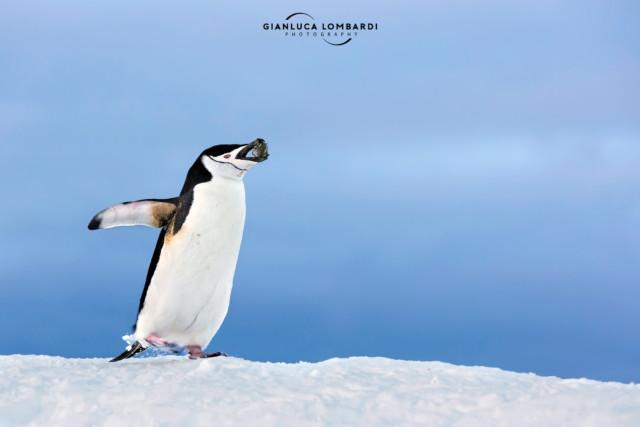 [21 Novembre 2015] Pinguino Barbuto (Pygoscelis Antarcticus) maschio su Half Moon Island (Isole Shetland Meridionali). Questo esemplare faceva avanti e indietro senza sosta dalla riva alla collina, in un andirivieni estenuante, portando col becco una pietra alla volta per costruire il nido per la sua compagna.