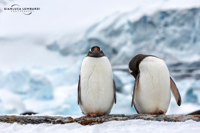 [22 Novembre 2015] Pinguini Gentoo (Pygoscelis Papua) su Cuverville Island. Il ghiacciaio alle spalle cadeva a mare direttamente dalla Penisola di Arctowski (Penisola Antartica).