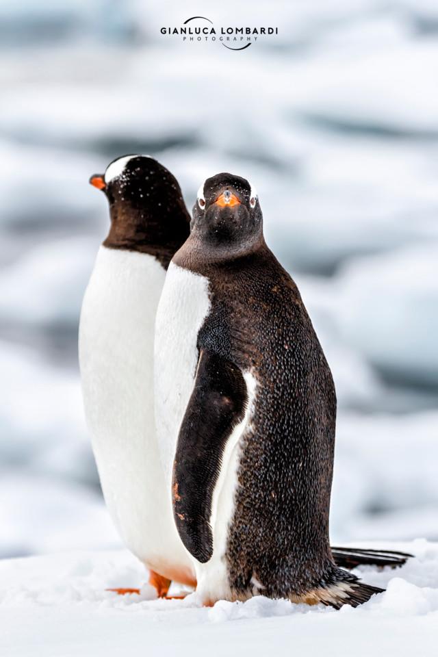 [22 Novembre 2015] Pinguini Gentoo (Pygoscelis Papua) su Cuverville Island (Stretto di Gerlache, Penisola Antartica).