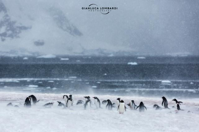 [23 Novembre 2015] Colonia di Pinguini Gentoo (Pygoscelis Papua) a Neko Harbor (Penisola Antartica). I venti catabatici soffiavano impetuosi con raffiche misurate a 65 nodi (circa 120 km/h).