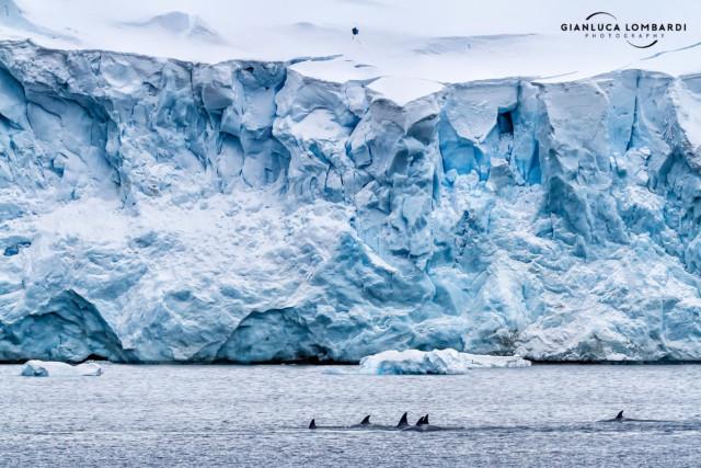 [24 Novembre 2015] Famiglia di Orche Antartiche (Orcinus Orca) naviga verso Nord nel Canale di Lemaire (Penisola Antartica).