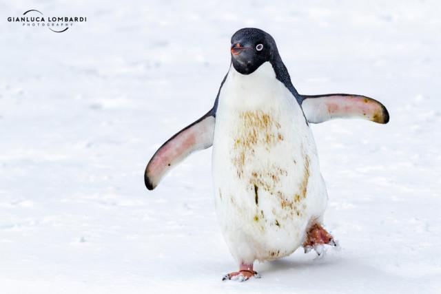 [24 Novembre 2015] Pinguino Adelia (Pygoscelis Adeliae) su Petermann Island (Penisola Antartica). Lo sporco sul ventre è guano.
