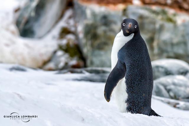 [24 Novembre 2015] Un Pinguino Adelia (Pygoscelis Adeliae) su Petermann Island (Penisola Antartica) che si è girato a guardarmi incuriosito, credo fosse una femmina.