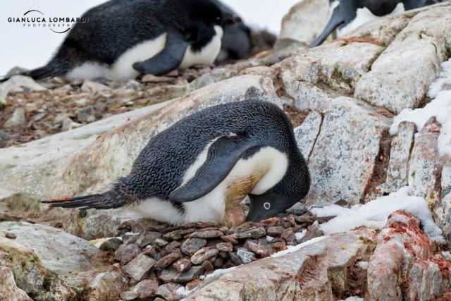 [24 Novembre 2015] Una Pinguina Adelia (Pygoscelis Adeliae) si prende cura del suo uovo su Petermann Island (Penisola Antartica).