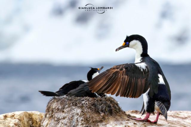 [24 Novembre 2015] Coppia di Cormorani imperiali (Phalacrocorax atriceps) nel loro nido su Petermann Island (Penisola Antartica).