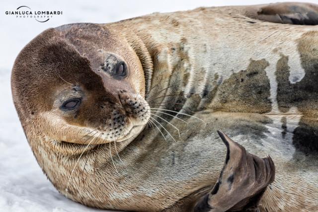 [25 Novembre 2015] Foca di Weddell (Leptonychotes weddellii) a Useful Island (Stretto di Gerlache, Penisola Antartica).
