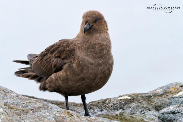 [25 Novembre 2015] Stercoraro di McCormick (Stercorarius maccormicki) a Useful Island (Stretto di Gerlache, Penisola Antartica).